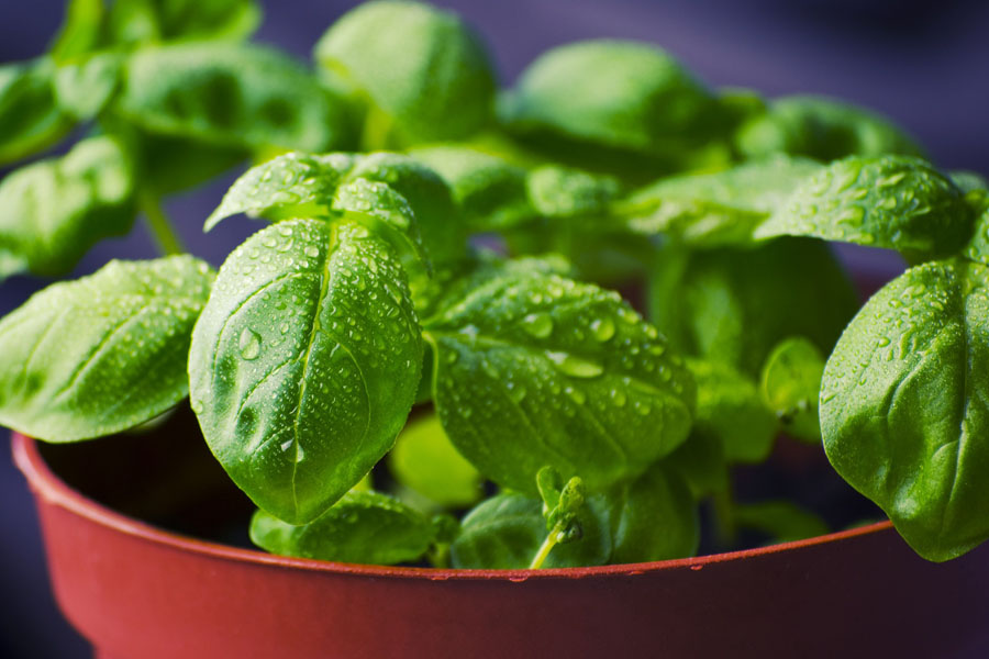 Basil – Not Just For Cooking Anymore